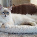 Ishaya Małe Białe*PL, kotka syberyjska, Neva Masquerade