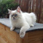 Ishaya – piękna kotka syberyjska, Neva Masquerade czeka na swoich opiekunów.