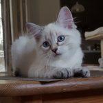 Keybbe Małe BIałe*PL, kotka syberyjska, Neva Masquerade