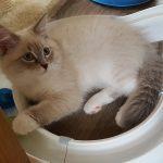 Livia Małe BIałePL, kotka syberyjska Neva Masquerade