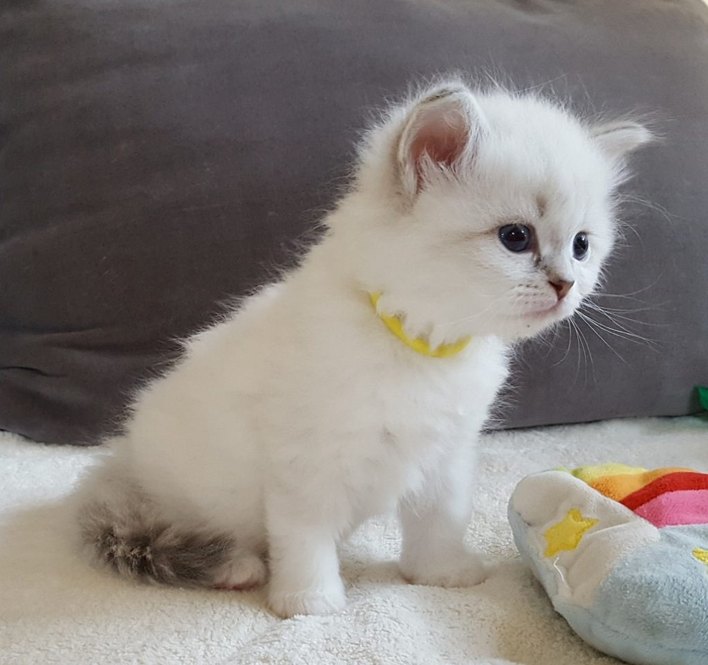 Magia Małe Białe PL, hodowla kotów syberyjskich, Neva Masquerade