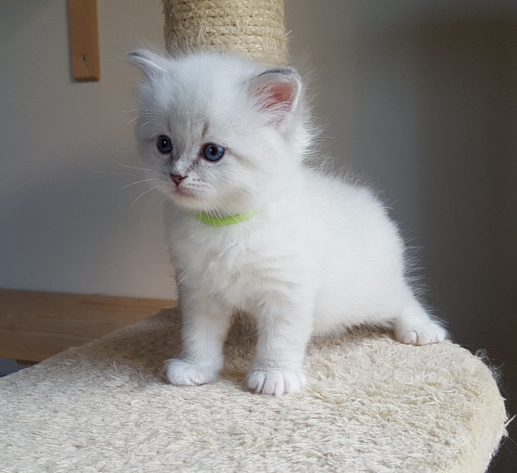 Magnus, hodowla Małe Białe PL, kot syberyjski, Neva Masquerade
