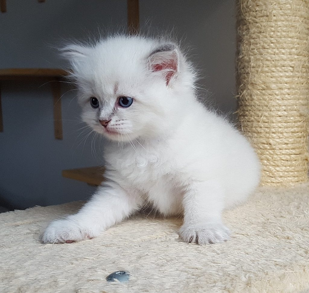 Maylo Małe Białe PL, hodowla kotów syberyjskich, Neva Masquerade