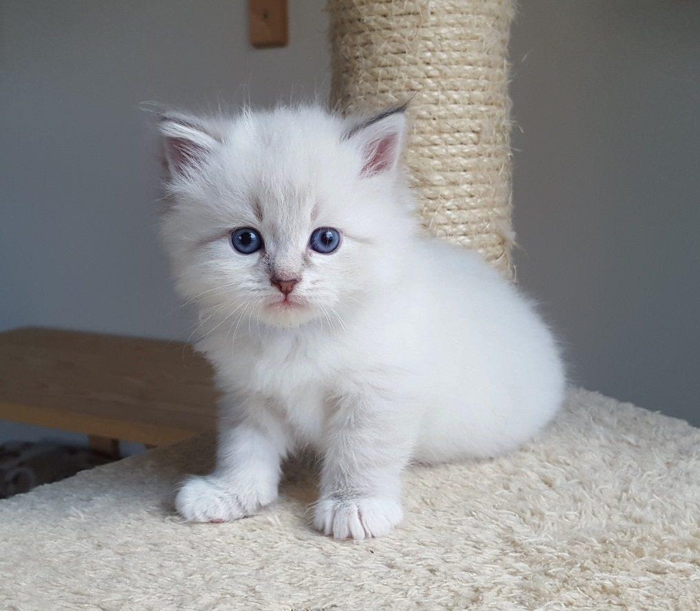 Merlin Małe Białe PL, hodowla kotów syberyjskich, Neva Masquerade