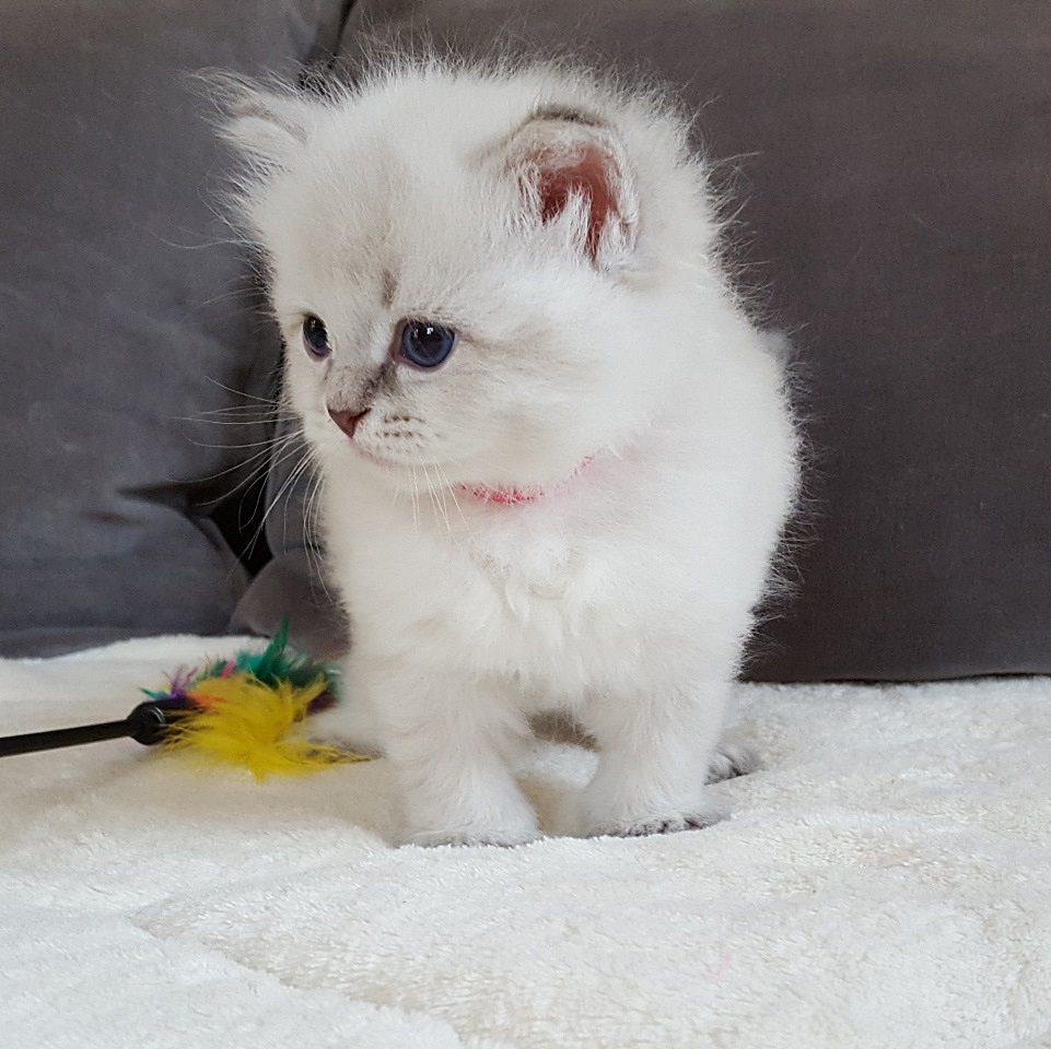 Mervin Małe Białe PL, hodowla kotów syberyjskich, Neva Masquerade