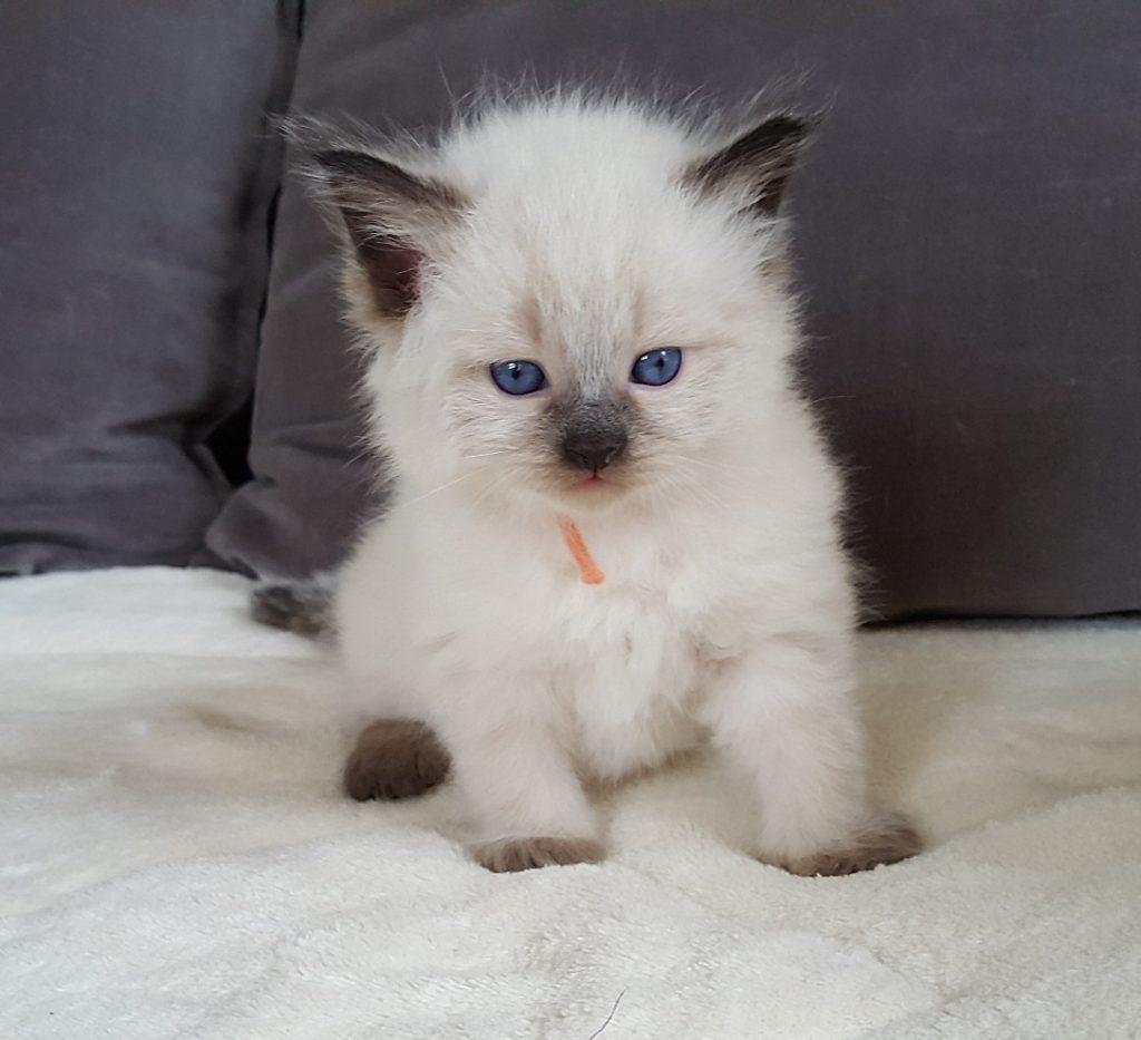 Noryan Małe Białe*PL, kot syberyjski, Neva Masquerade