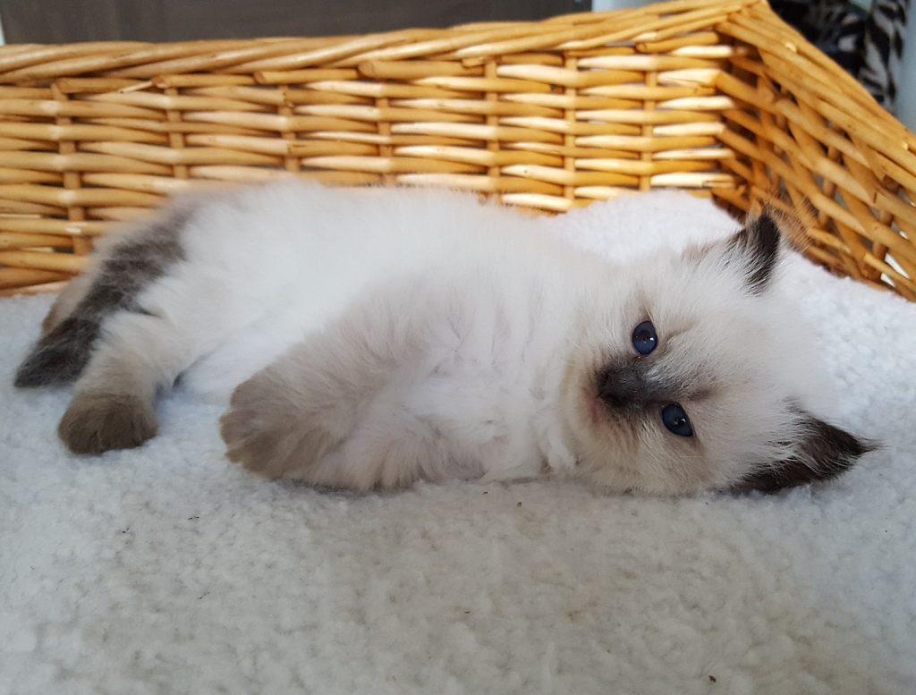 Novika Małe Białe*PL, kotka syberyjska,Neva Masquerade