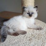 Novika Małe Białe PL, kotka syberyjska,Neva Masquerade