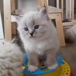 Nugat Małe Białe*PL, kot syberyjski, Neva Masque