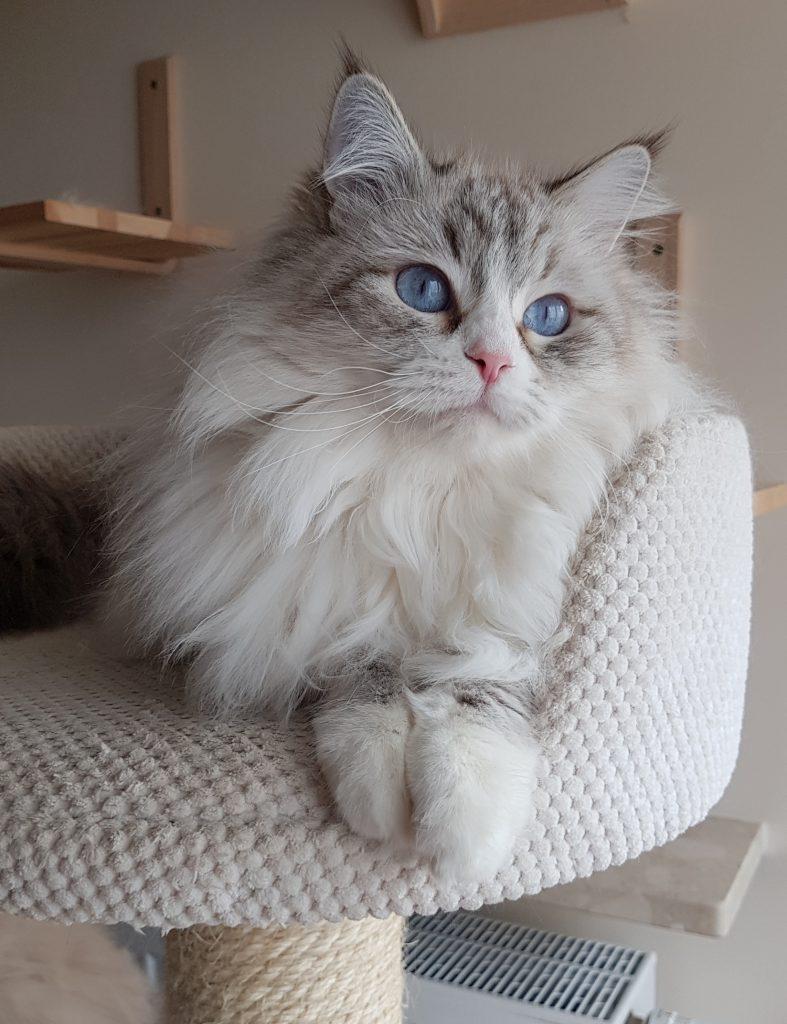 Antea Małe Białe*Pl, kotka syberyjska, Neva Masquerade