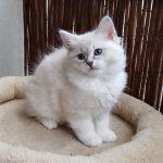 Magia Małe Białe*PL, kotka syberyjska, Neva Masquerade