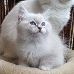 Magnus Małe Białe PL, kot syberyjski, Neva Masquerade