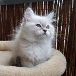 Magnus Małe*Białe PL, kot syberyjski, Neva Masquerade