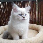 Maylo Małe Białe*PL, kot syberyjski, Neva Masquerade