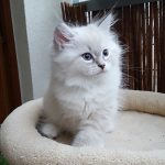 Merlin Małe Białe*PL, kot syberyjski, Neva Masquerade