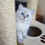Mervin Małe Białe*PL, kot syberyjski, Neva Masquerade