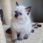 Nelson Małe Białe*PL, kot syberyjski, Neva Masquerade