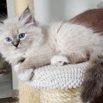 Nilaya Małe Białe*PL, kotka syberyjska, Neva Masquerade