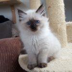 Novika Małe Białe*PL, kotka syberyjska, Neva Masquerade