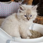 Nugat Małe Białe*PL, kot syberyjski, Neva Masquerade