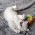Oceana Małe Białe*PL, kotka syberyjska, Neva Masquerade