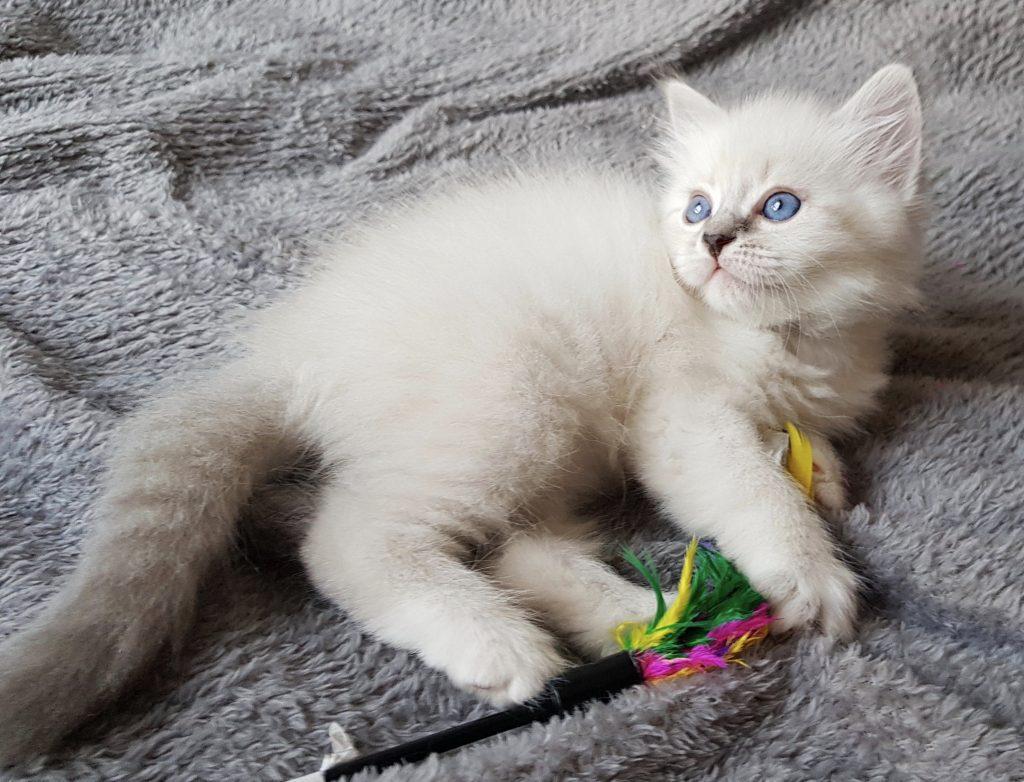 Oceana Małe Białe*PL, kot syberyski, Neva Masquerade