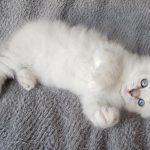 Odette Małe Białe*PL, kotka syberyjska,Neva Masquerade