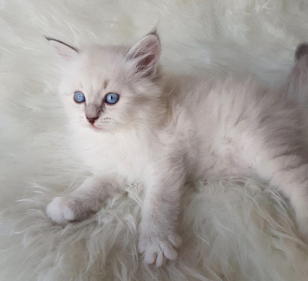 Odette Małe Białe PL, kotka syberyjska, Neva Masquerade