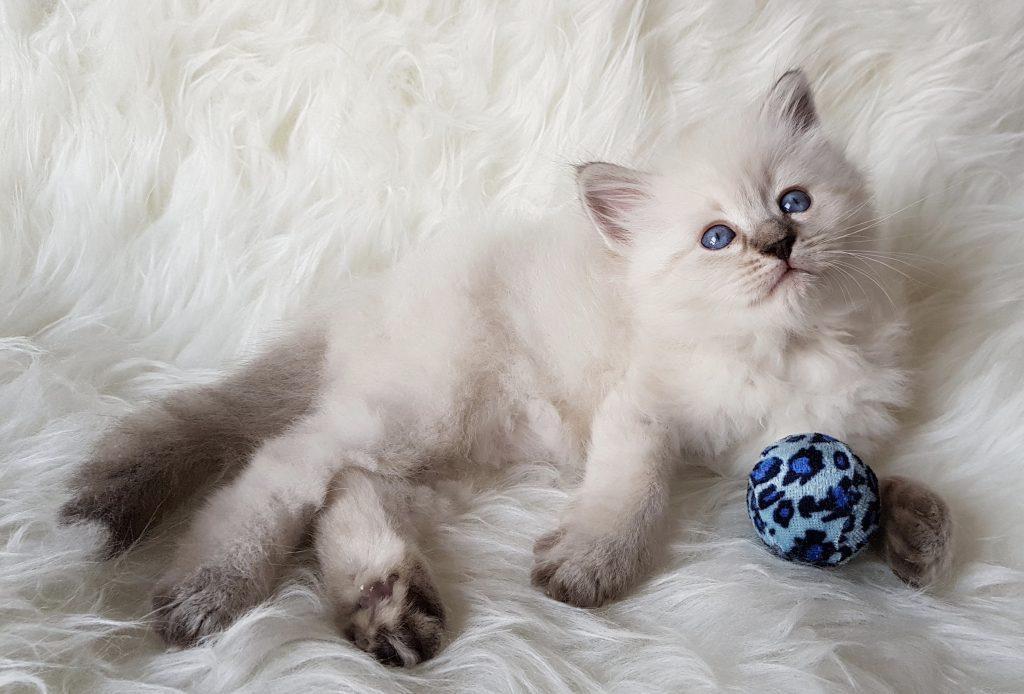 Odysey Małe Białe PL, kotka syberyjska,Neva Masquerade