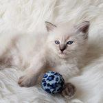 Odysey Małe Białe*PL, kotka syberyjska,Neva Masquerade