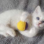 Ofelia Małe Białe*PL, kotka syberyjska,Neva Masquerade