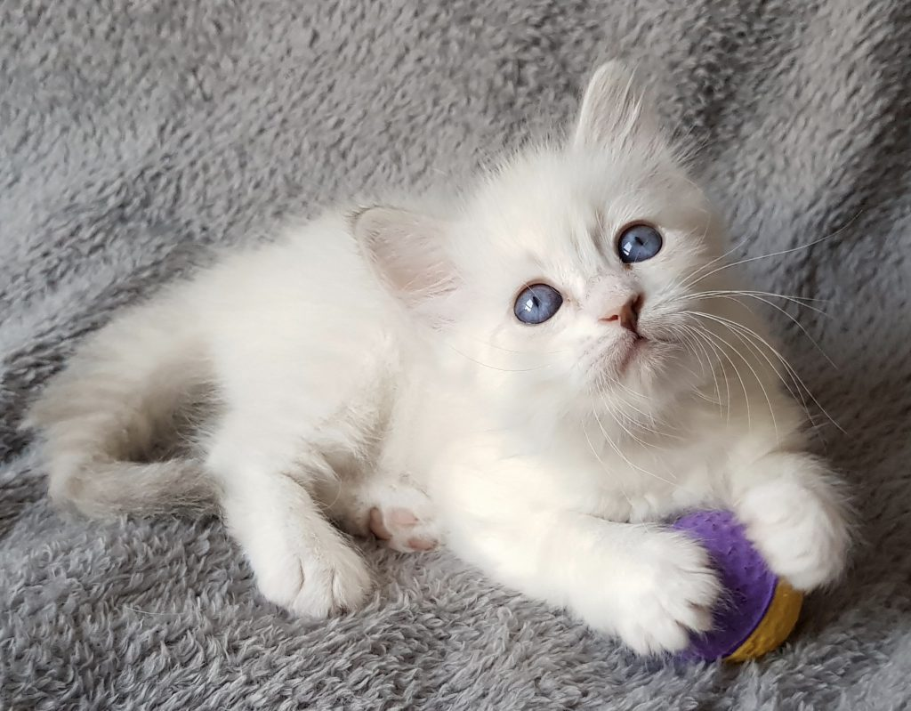Ofelia Małe Białe PL,kotka syberyjska, Neva Masquerade