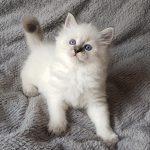 Olivia Małe Białe*PL, kotka syberyjska, Neva Masquerade