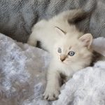 Onufry Małe Białe*PL, kot syberyjski, Neva Masquerade