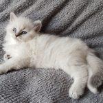 Otelia Małe Białe*PL, kotka syberyjska, Neva Masquerade