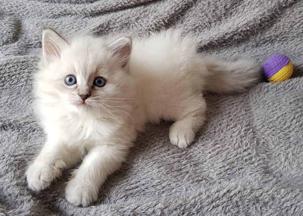 Otelia Małe Białe*PL, kotka Neva Masquerade