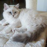 Magia Małe Białe PL, kotka Neva Masquerade
