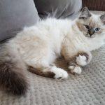Nilaya Małe Białe PL, kotka neva Masquerade