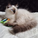 Noryan Małe Białe PL, kot syberyjski, Neva Masquerade
