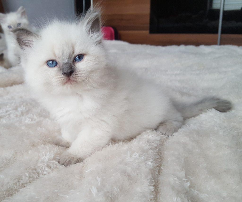 Pasya Małe Białe, kotka Neva Masquerade