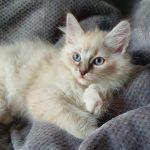 Phoebe Male Białe, kotka Neva Masquerade