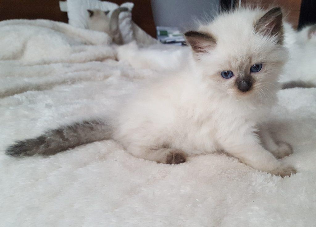 Prada Małe Białe, kotka syberyjska, Neva Masquerade