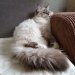 Nugat Małe Białe Pl, kot syberyjski, Neva Masquerade