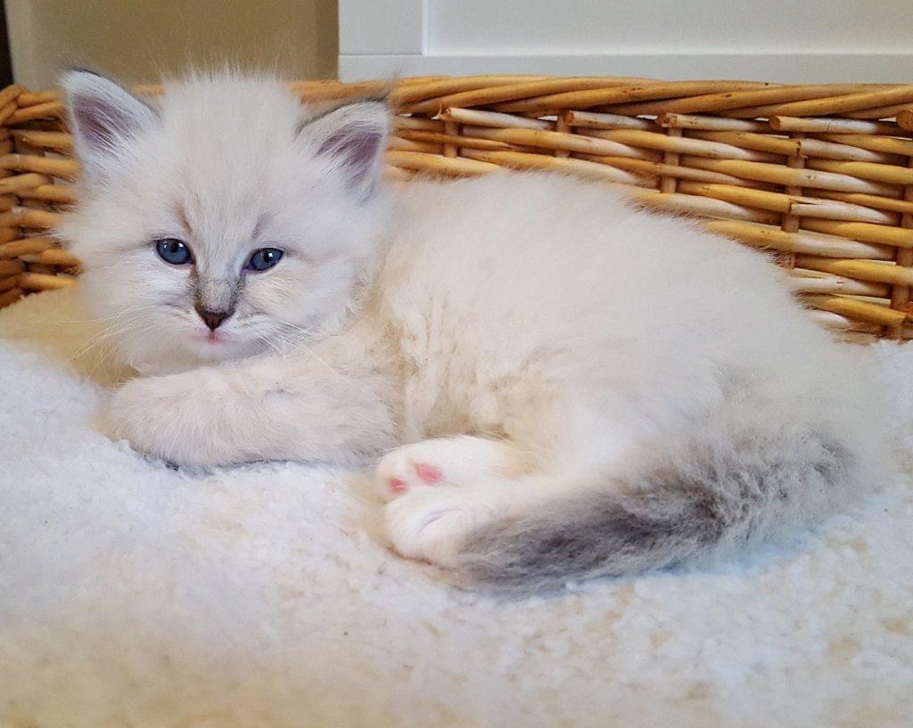 Revia Małe Białe PL, kotka syberyjska, Neva Masquerade