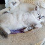 Revia Małe Białe PL_kotka syberyjska Neva Masquerade