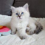 Rokosz Małe Białe PL, kot syberyjski Neva Masquerade