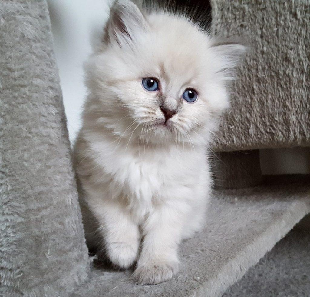 Runaya Małe Białe PL, kotka syberyjska, Neva Masquerade