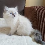 Runaya Małe Białe PL_kotka syberyjska Neva Masquerade