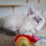 Revia Małe Białe PL,kotka syberyjska, Neva Masquerade