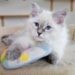 Rokosz Małe Białe PL, kot syberyjski, Neva Masquerade